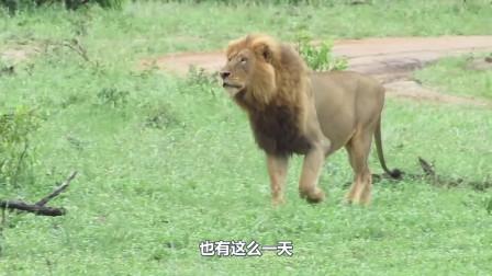 狮子捕猎野牛,野牛抵死不从,最后血流满面的却是它!