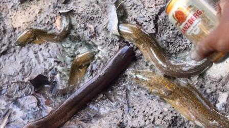 鳝鱼一条条钻出来,这是滴的啥?