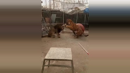 老虎不停挑衅狮子,最后终于发生打斗