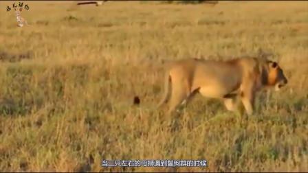年轻鬣狗误入狮子群,当场就被群狮处刑,画面一度残忍