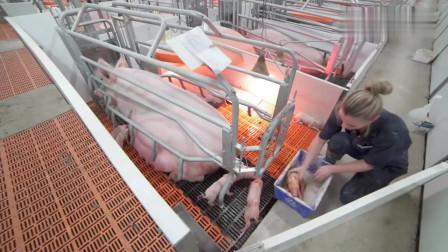 看看国外养猪农场,这干净程度难以想象,网友:二师兄挺惬意啊