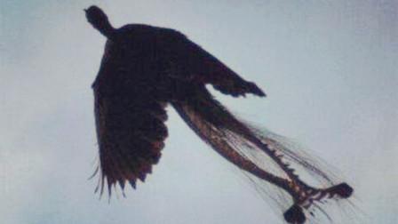 黑龙江惊现远古凤凰,远古神兽黑凤凰真的存在?
