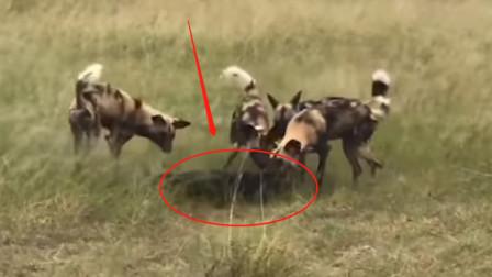 为了保护孩子,野牛妈妈独自对抗凶猛的鬣狗群,镜头拍下惊险的一幕