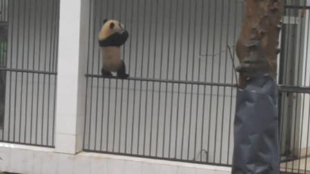 """国宝熊猫欲""""越狱"""",被饲养员当场抓获后,回"""