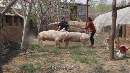 大叔放猪锻炼,接下来的一幕,原来母猪是这样打架的啊