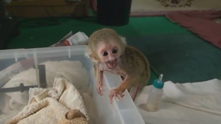 松鼠猴想要爬進小窩,主人伸出手幫助它,松鼠猴的舉動簡直萌化了