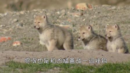 两只小野狼内讧, 谁也不让谁, 这举动确定不是二哈