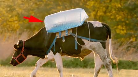 牛屁能当新能源?阿根廷发明牛屁背包,专门收集牛屁!