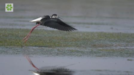 黄河口的鸟儿1: 粉红大长腿的秘密花园
