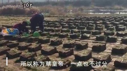 视频:种植成本非常低,一亩产量6万多斤,因生财有道,被称之草皇帝!1