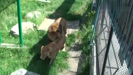 虽然被圈养,但狮王可以和小伙伴一起约会玩耍,过得也很是惬意