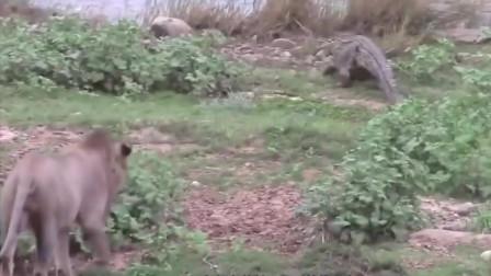 狮子和鳄鱼谁厉害狮子别说话我正在用气势压垮这条四脚蛇