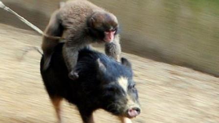 非洲大叔训练猴子捉野猪,笑得我肚子疼,镜头拍下全过程