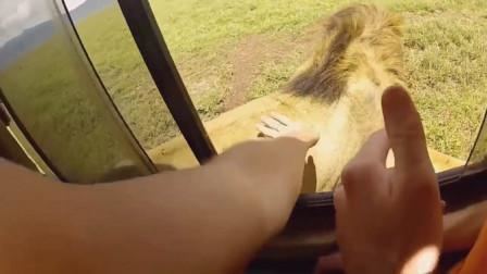 作死老外抚摸狮子屁股拍照,下一秒意外发生了,镜头记录惊险过程