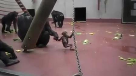 """""""大手牵小手走路不怕滑""""看孩子的猩妈妈牵着它的孩子可爱小猩猩"""