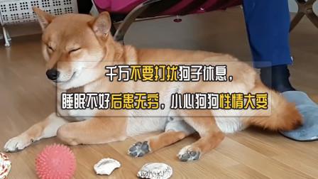 千万不要打扰狗子休息,睡眠不好后患无穷,小心狗狗性情大变