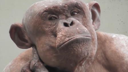 """这只大猩猩浑身""""光溜溜"""",就像刚刚洗完澡,让女游客无法直视!"""