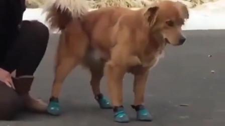 第一次穿鞋的大金毛