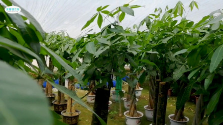 发财树想必大家都见过,但你知道它生长环境和栽培方式吗,不知道的话就快来看吧
