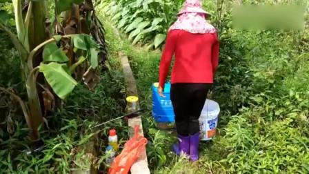 这里种植了200棵油茶树农民正在田里除草施肥茶树长高了很多