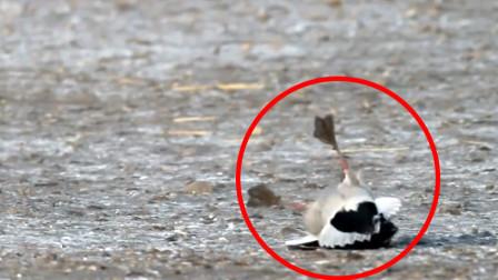 一只鸭子原地离奇死亡,摄影师把镜头放慢7倍,才发现凶手是谁!