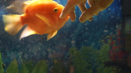 这条鱼是成精了吗?真是个粘人的小家伙