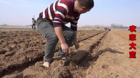 农家大宝:又是一年种芋头的季节,一亩地用400斤种子