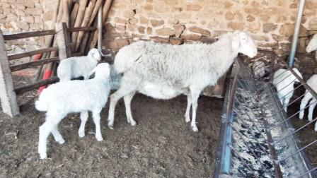 2019年农村致富小项目大叔养羊,一年能赚多少钱?说出来让人羡慕