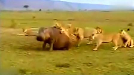 一只河马遭十几头狮子围攻,难道真的无力反抗吗