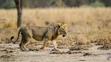 3头雄狮子逮到小牛,水牛群奋力相救,小牛妈妈更是疯狂攻击