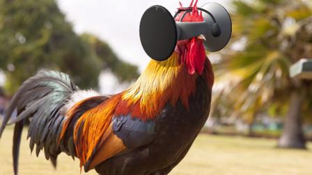 外国养鸡都用上VR了?号称这样鸡肉更好吃,就是不知道贵吗?