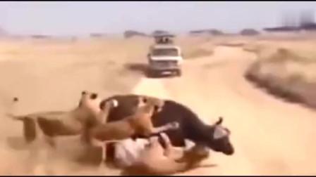 6头狮子猛攻一头母水牛,没想牛王带千头公水牛营救,狮群悲剧了