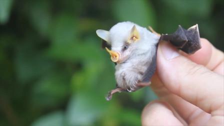 奇特蝙蝠为了在当地生存,居然放弃吸血开始卖萌为宠物