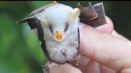 传闻中的吸血蝙蝠中有一个叛徒,它不吸血甚至只吃素食就可以了!