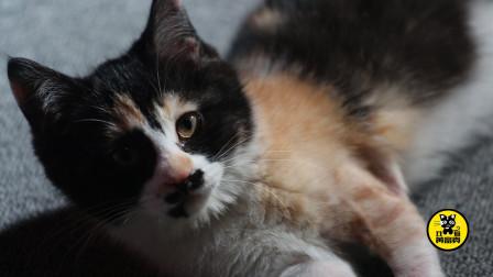 丑猫黄富贵第15集:康复之后的黄富贵满血复活,吃饱喝足之后玩起来依然生龙活虎!