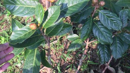 苗圃实拍带花苞的大果红花油茶嫁接苗 盛林农业大果红花油茶种植基地