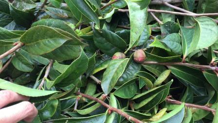 带花苞的梧州大果红花油茶树苗准备装车 红花大果油茶产地供应