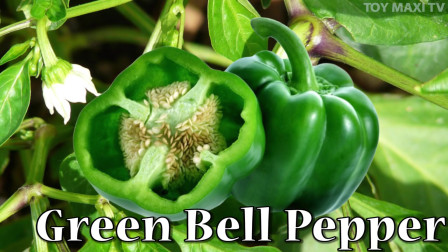 宝宝学英语,教宝宝认识绿色的蔬菜,秋葵,白菜,黄瓜,英文发音