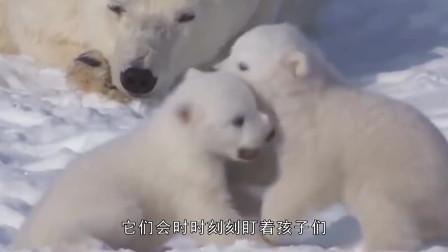 超萌的北极熊宝宝,调皮捣蛋的让熊妈妈操心,结局让人心疼