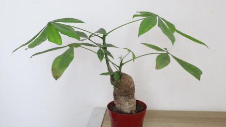 家里的发财树总是养不好?掌握这3大要点,它发芽你发财