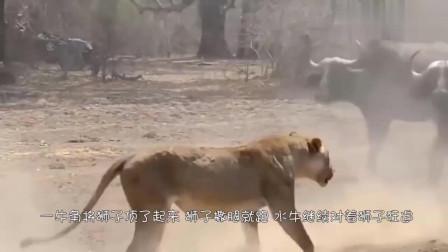 狮子捕食水牛,意想不到的事发生了,镜头拍下狮子的悲催瞬间
