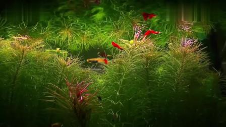 最美60厘米孔雀鱼水草造景缸,在这种环境里,想养不好孔雀鱼都难