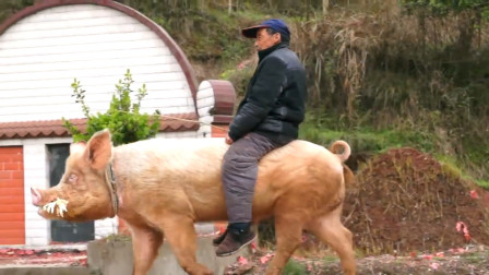 大爷将家猪当成自己的坐骑,走在马路上,网友:太拉风了!