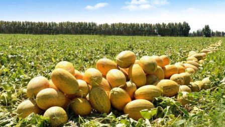 晋惠三农:本期给大家讲一下哈密瓜的一些基本种植方法,及价值