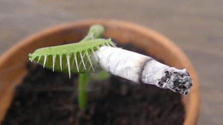 捕蝇草也会抽烟?小伙将烟放进去,出现的一幕让人笑喷!