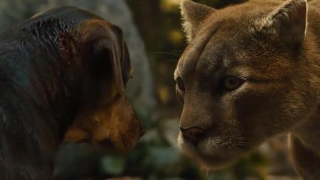 美洲狮失去母亲,被狗狗抚养长大,双目对望,但狗狗却不得不离开!