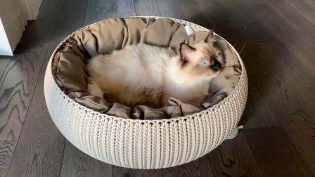 布偶猫:听说集齐七颗龙珠可以召唤神龙,那朕这一碗彩蛋能召唤啥