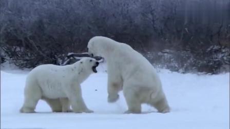 北极熊都饿瘦了!还有闲心?委屈的北极熊!