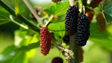 别看黑色水果不起眼,但是营养价值却不低,常吃会有这些好处