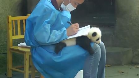 熊猫宝宝被当桌垫,只能无奈趴在奶爸身上,镜头记录搞笑全过程!